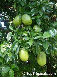 Swinglea glutinosa, Aegle decandra, Limonia glutinosa, Glutinous swinglea, Tabog  Click to see full-size image