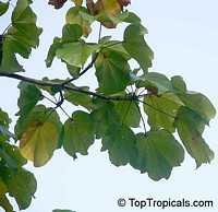 Cavanillesia platanifolia, Canoe Tree, Cuipo  Click to see full-size image
