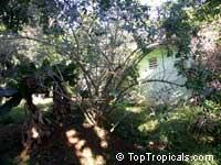 Dovyalis hebecarpa, Dovyalis abyssinica, Tropical Apricot, Ketembilla, Ceylon GooseberryClick to see full-size image