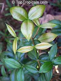 Rheedia puertoricensis, Reedia, Garcinia  Click to see full-size image