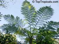 Cyathea cooperi, Sphaeropteris cooperi, Australian Tree fern, Hapuu Fern  Click to see full-size image