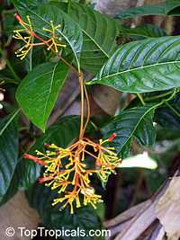 Palicourea guianensis - Showy Cappel  Click to see full-size image