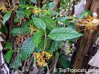 Palicourea guianensis, Showy cappel  Click to see full-size image
