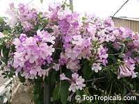 Mansoa alliacea, Pachyptera hymenaea, Pseudocalymma alliacea, Cydista aequinoctialis, Garlic Vine, Cipo de Alho, Equinox Vine, CydistaClick to see full-size image