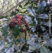 Leea guineensis, Leea