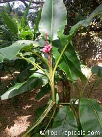 Musa velutina, Hairy Banana, Pink BananaClick to see full-size image