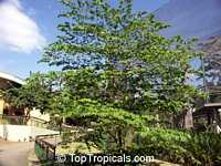 Muntingia calabura, Strawberry tree, Jam tree, Jamaican / Singapore / Panama cherry, Cotton Candy Berry, Calabura, ManzanilClick to see full-size image
