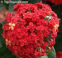 Ixora sp., Jungle flame, Needle flower