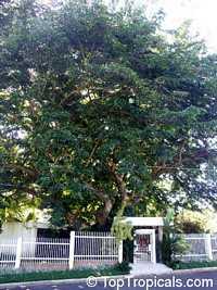 Pterocarpus macrocarpus, Gum-Kino Tree, Burma Padauk, Mai Pradoo, Pradu  Click to see full-size image