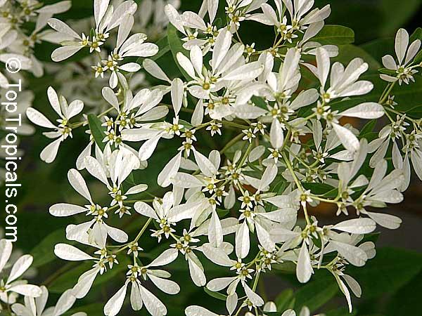 Euphorbia Leucocephala Pascuita Snows Of Kilimanjaro White