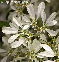Euphorbia leucocephala, Pascuita, Snows of Kilimanjaro, White Small Leaf Poincettia, Snow Bush, White-laced euphorbia, Snow Flake, Poinsettia