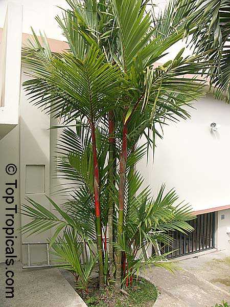 Cyrtostachys Lakka  Cyrtostachys Renda  Lipstick Palm