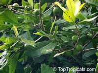 Pouteria multiflora, Broadleaved Lucuma, Chocky Apple, Jacana  Click to see full-size image
