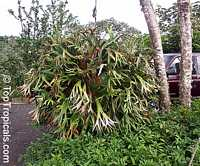 Platycerium coronarium, Stag's horn fern, Staghorn  Click to see full-size image