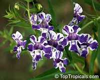 Angelonia salicariaefolia, Violet-flowered AngeloniaClick to see full-size image