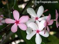 Kopsia fruticosa, Shrub Vinca, Pink Kopsia, Kopsia Merah, Pink Gardenia, Pink Giant Shrub PeriwinkleClick to see full-size image