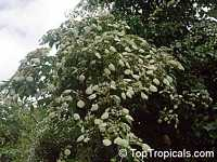 Morinda reticulata, Mapoon Bush, Yellow-dye  Click to see full-size image