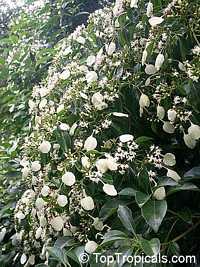 Morinda reticulata, Mapoon Bush, Yellow-dye