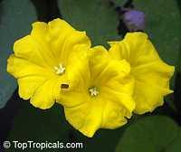 Merremia umbellata, Convolvulus umbellatus, Ipomoea polyanthes, Yellow Merremia, Yellow Wood Rose  Click to see full-size image