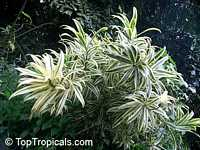 Dracaena sp., Dracaena, Money Tree