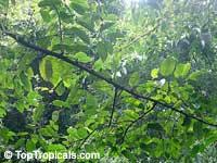 Neolamarckia cadamba, Anthocephalus cadamba, Anthocephalus chinensis, Cadam, Kadam  Click to see full-size image