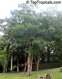 Genipa americana, Genipa, Huito, Marmelade Box  Click to see full-size image