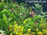 Alpinia purpurata, Red Ginger Lily, Ostrich Plume, and Red Cone Ginger
