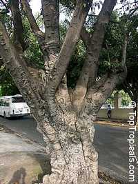Ficus sp., Ficus  Click to see full-size image