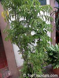 Polyscias fruticosa, Ming AraliaClick to see full-size image