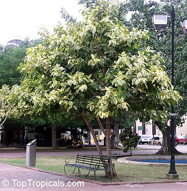 Ficus Elastica Rubber Tree Toptropicals Com
