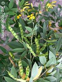 Cajanus cajan, Cajanus indicus, Pigeon Pea, Dhal, Gandul, Red Gram, Congo Pea, Gungo Pea, No Eye Pea  Click to see full-size image