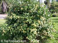 Coptosperma littorale, Tarenna littoralis, Enterospermum littorale, Coptosperma  Click to see full-size image