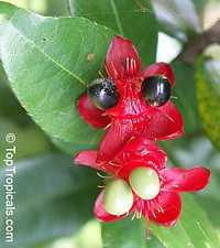 Ochna integerrima (thomasiana) - Vietnamese Mickey Mouse plant  Click to see full-size image
