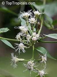 Chromolaena odorata, Eupatorium odoratum, Osmia odorata, Siam weed, Chritsmas Bush, Bitter Bush, Baby TeaClick to see full-size image