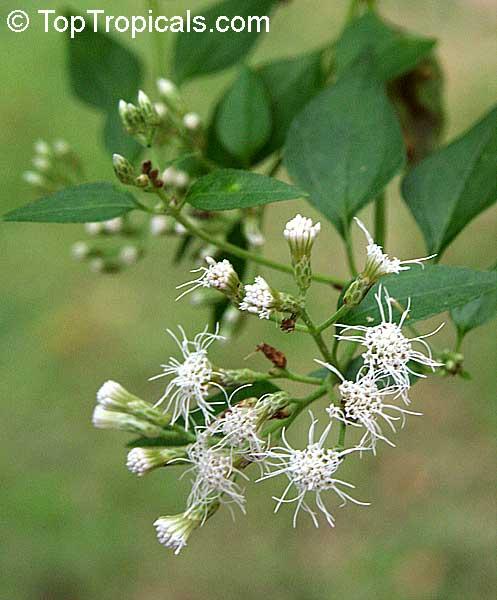 Chromolaena odorata  Eupatorium odoratum  Osmia odorata  Siam weed    Chromolaena Odorata Leaf