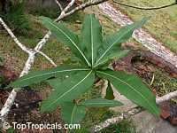 Plumeria montana, Whita Plumeria  Click to see full-size image