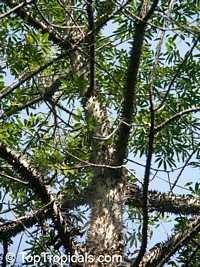 Neobuchia paulinae, Mapou Nlanc  Click to see full-size image