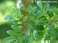 Poitea paucifolia, Corynella paucifolia, Retama  Click to see full-size image