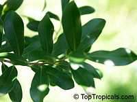 Cinnamodendron ekmanii, Canelilla, Canelillo  Click to see full-size image