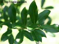 Cinnamodendron ekmanii, Canelilla, CanelilloClick to see full-size image