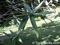 Cordia salvifolia, Cordia nesophila, Islandloving Cordia, Black Sage  Click to see full-size image