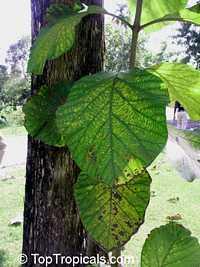 Tectona grandis, Teak  Click to see full-size image