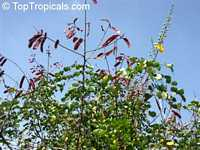 Caesalpinia vesicaria, Caesalpinia bijuga, Large-leaved Cassia  Click to see full-size image