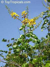 Caesalpinia vesicaria, Caesalpinia bijuga, Large-leaved Cassia