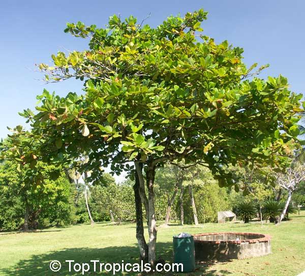 Terminalia Catappa Tropical Almond Badamier Java Almond