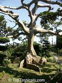 Ceiba pentandra - Kapok TreeClick to see full-size image