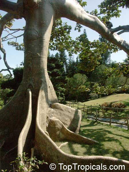 Ceiba Pentandra Kapok Tree Silk Cotton Tree