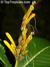 Sanchezia speciosa, Sanchezia nobilis, Sanchezia, Fire FingersClick to see full-size image