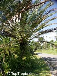 Phoenix sp., Date Palm  Click to see full-size image