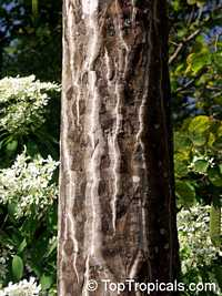 Clavija domingensis, Lengua de Buey, Langue de boeuf, Haiti Clavija  Click to see full-size image
